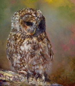 A Celebration of Nature-Tawny Owl Study